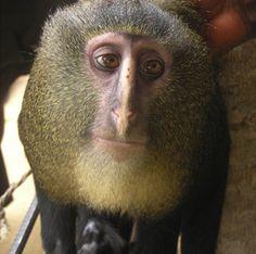 El lesula, nuevo mono africano (12-09-2012)