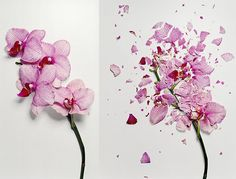 John Shireman freezes flowers with nitrogen then photographs them after they've been shattered.