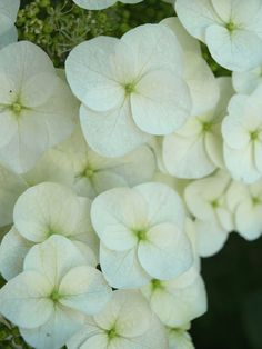 white flower. my garden, love white, spring
