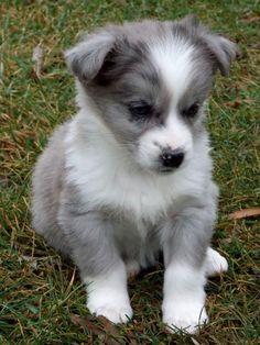 Australian Shepherd Mix Acorgi Australian Shepherd Mix Corgi Mix- Love this! Aussie Puppies, Cute Puppies, Cute Dogs, Dogs And Puppies, Doggies, Aussie Mix, Funny Dogs, Puppies Puppies, Collie Puppies