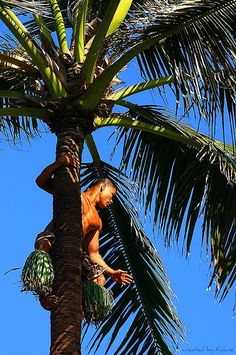 Samoan man demonstrating climbing the coconut tree.