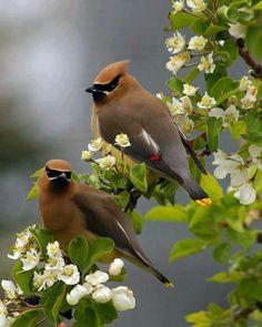I held a Cedar Waxwing once. It had choked on berries and fell to the ground in my garden. I am amazed how soft to the touch it was. It had little fluorescent orange paddle-shaped feathers on it's wings and fluorescent yellow on the tips of it's tail feathers. I've never held something once so wild and free...I will never forget it's beauty.