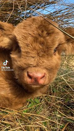 Baby Farm Animals, Cute Wild Animals, Baby Cows, Cute Little Animals, Cute Funny Animals, Animals Beautiful, Animals And Pets, Cute Baby Cow, Cute Cows
