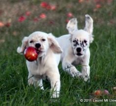 Llewellin Setter Puppies at Play