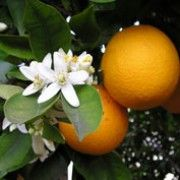 Orange Blossom - Orange Blossoms, the flowers of orange fruit trees, are attractive and inticingly aromatic. If you've ever been to Florida on a beautiful Spring day, you'll be reminded of the scent when you smell our Orange Blossom fragrance oil.