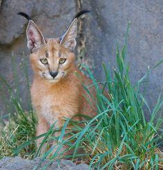 """2011-09-09_Oregon Zoo_0355"" by   Dyrk Daniels | Caracal Kitten (Felis caracal) at Oregon Zoo - Southwest Hills, Portland, OR | Taken w/ Nikon D700 using Nikon 300mm f/2.8 & Nikon 1.7x Teleconverter. 510mm, f/5.6, 1/250 sec, ISO 1000 | www.oregonzoo.org/ | 9 Sep 2011 (Day before Monica's 26th B-Day!)"