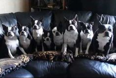 """8 Boston Terrier Dogs had to Wait Until they Hear the """"GO"""" Signal! Watch this ► http://www.bterrier.com/?p=14771"""