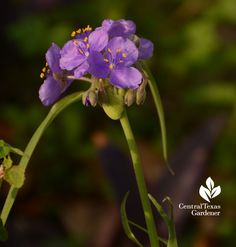 Native spiderwort (S. gigantea) | Central Texas Gardener