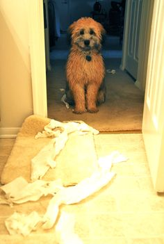 Wheaten Terrier puppy - reorganizing the apartment for me... yeah he found it like this I'm sure