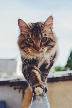 Best of Tabby Cats pictures: Pretty Cats, Beautiful Cats, Animals Beautiful, I Love Cats, Crazy Cats, Cool Cats, Cute Kittens, Animals And Pets, Funny Animals