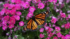 Monarch and pink flowers - Butterflies & Animals Background ...