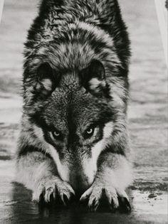 grauer Wolf.