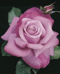 RP: Barbra Streisand Hybrid Tea Rose with strong rose  citrus blossom scent