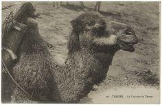 Dumm oder majestätisch? Gedanken zu den Kameliden