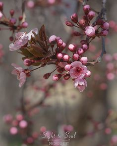 Pink Flower Photography Spring Blossoms Floral Wall Décor Flowering Plum Tree Photo