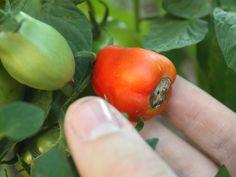 La maladie du cul noir de la tomate