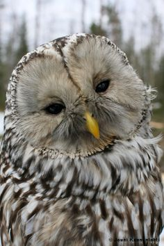 rare pictures of owls   Spring and nesting time. New owl pictures are rare. (Ural owl)
