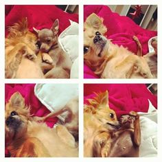 Nap time can be fun too  #tillatequila #chihuahua #lolalolita #russiantoy #naptime #bed #love #fun #smalldogs #bighearts #cute #together #bestfriends #bestsisters #pets #love #animals #ilovemydogs #joy #sunday #familytime  Photo By: tilla_nikki_lola  http://bit.ly/teacupdogshq