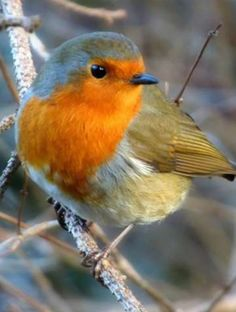 New Red Robin Bird Pictures Ideas Funny Birds, Cute Birds, Pretty Birds, Small Birds, Colorful Birds, Little Birds, Beautiful Birds, Animals Beautiful, Beautiful Places