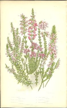 Antique Color Anne Pratt Flower Plant Print Botanical Plate 133 c.1850