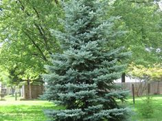 colorado spruce trees | Posts related to Dwarf Colorado Blue Spruce