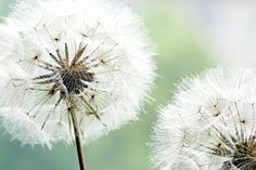 Dandelion Duo by Andrea Haase Photographic Print on Wrapped Canvas