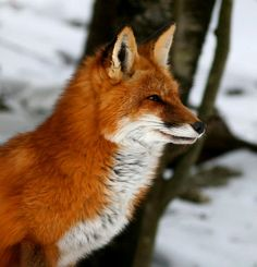 Red Fox  Sitting by The Roaming Ranger