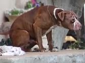 Pitiful Pit Bull Makes a Dramatic Transformation - amazing what love can do....even with animals.