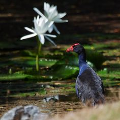 Purple Swamphen admiring the lilies! | Flickr - Photo Sharing!
