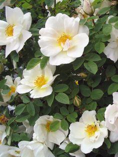Rosa moyesii 'Nevada' |  Zon V. Gammaldags mandarinros/buskros som är härdig, tålig och lättodlad. Blommar juni-juli med stora, svagdoftande enkla, eller lätt fyllda, crèmevita blommor. Vackra guldgula ståndare. En av de mest blomrika rosorna.