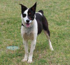 grey Tuesdays Tails:  Adopt this Australian Shepherd!