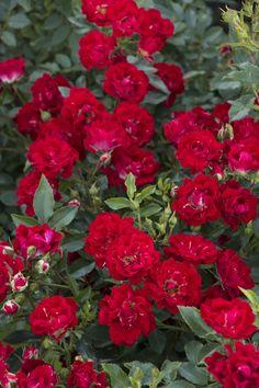 Red Drift® Groundcover Rose - Monrovia - Red Drift® Groundcover Rose