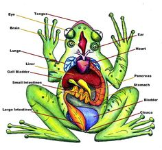 Printables Virtual Frog Dissection Worksheet virtual frog dissection worksheet davezan pinterest the world 39 s catalog of ideas worksheet