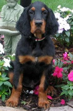 Harry Potter Dogs - McGonagall the Gordon Setter