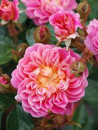 'Treasure Trail' a modern Moss rose by Paul Barden