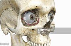 ストックイラストレーション : Anterior view, angled to the right hand side of the eyeballs in a skull.