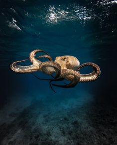 sea life - sea life photography - sea life underwater - sea life artwork - sea life watercolor sea l Underwater Creatures, Ocean Creatures, Ocean Underwater, Beautiful Sea Creatures, Animals Beautiful, Kraken, Fauna Marina, Octopus Art, Octopus Photos