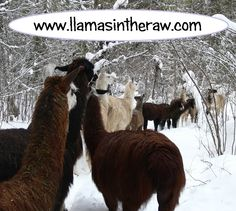 Fallen tree blocks the Llama Forest Highway.  Long delays expected, since rescue crews cannot get through the line up!