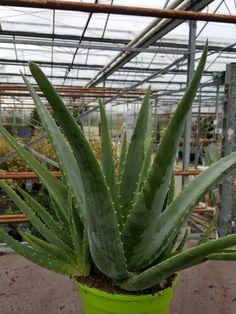 Extra Large aloe vera plant