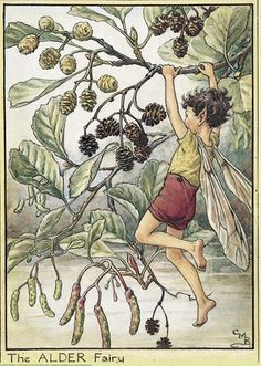 Illustration for the Alder Fairy from Flower Fairies of the Trees. A boy fairy swings from the branches of an alder tree, which is covered in cones and catkins. Author / Illustrator Cicely Mary Barker
