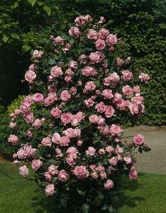 Rosa Coral Dawn. Grote, gevulde edelachtige roos. Ziekte vrij blad. Zeer moderne rijkbloeiende klimroos, met goedgevulde bloemen. Een sterk geurende roos. Deze roos kan half zon en half schaduw verdragen. 245-365 cm.