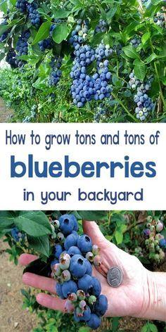 How to Grow Blueberries - Organic Gardening Home Vegetable Garden, Fruit Garden, Flower Gardening, Gardening Shoes, Hydroponic Gardening, Hydroponics, Herb Gardening, Gardening Vegetables, Urban Gardening