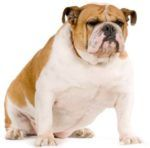 Top 50 Most Popular Dog Breeds in the United States – #Boxer  Learn about the temperament and personality of the Boxer. Discover what he's like to live with, his traits and characteristics and how he generally behaves. And look at lots of Boxer photos. http://www.pindoggy.com/pin/top-50-most-popular-dog-breeds-in-the-united-states-boxer/