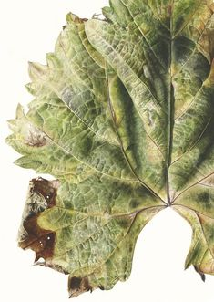 Leaf 041120151206, Green Grape Vine (Vitis vinifera), 76 x 56 cm, Watercolour on paper