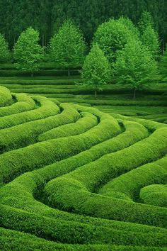 Interesting planning of tea fields in China.