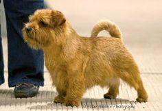 Lovely Norfolk Terrier.