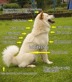Anjing Kintamani #infoguguk - Anatomi Anjing Kintamani Bali