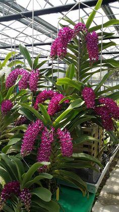 orchidee vanda rare