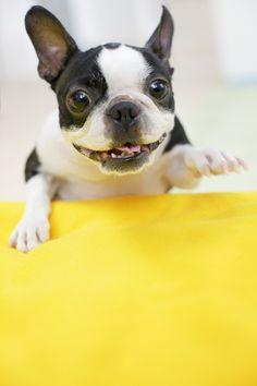 Playful Boston Terrier