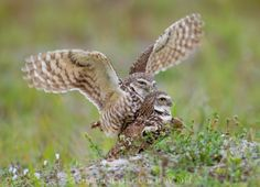 Making wols: Burrowing owls in flagrante delicto